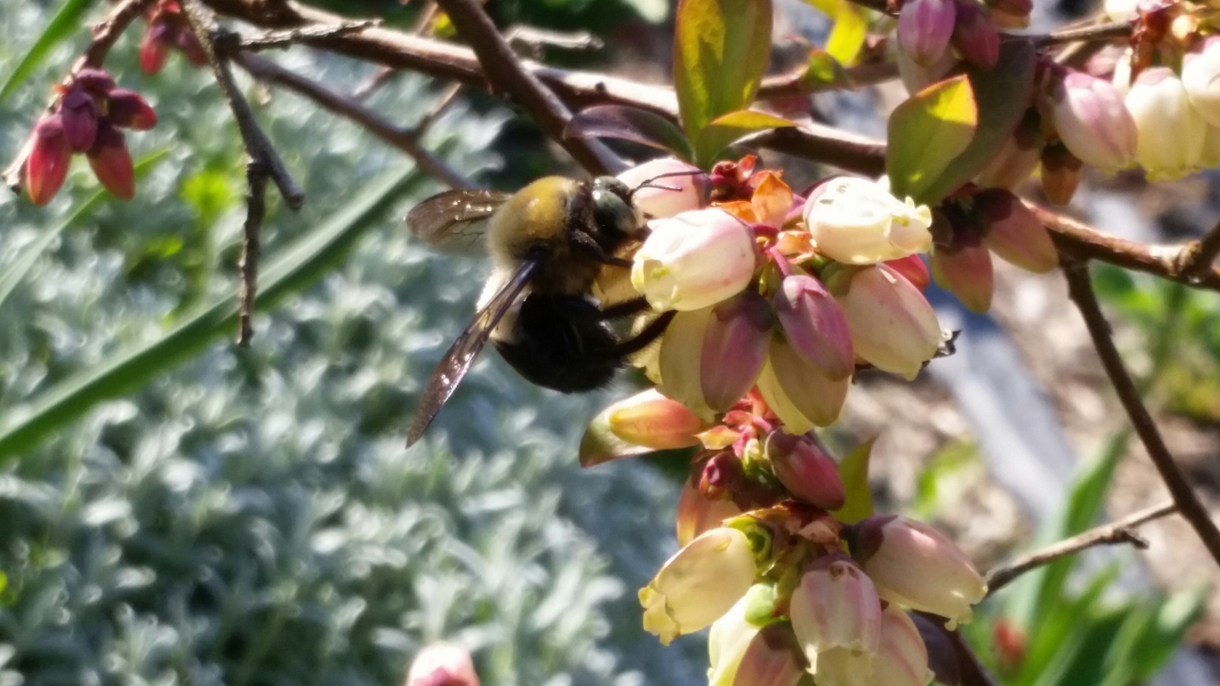 The Bumblebees Are Working Hard to Prepare Delicious Blueberries for You!
